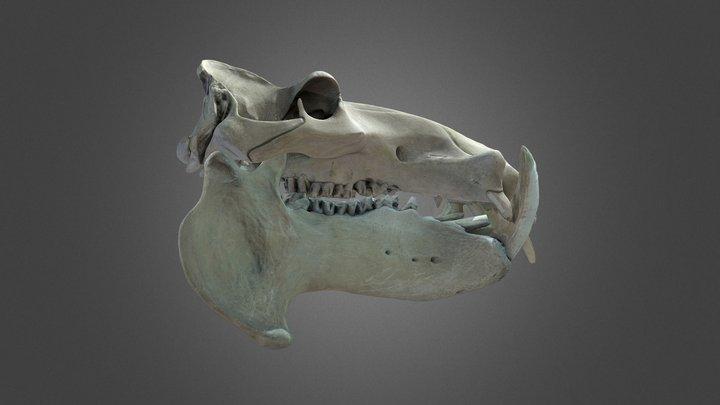 Hippopotamus amphibius, skull & mandible 3D Model