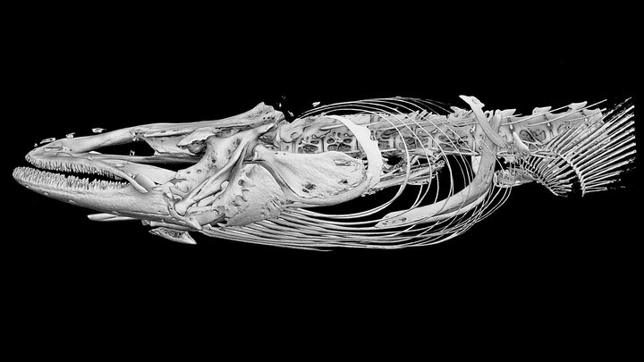 "4 Japanese Eel Head /  ""Unagi"" 3D Model"