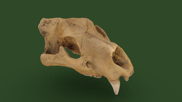 Crâne de lion des Cavernes, Grottes d'Azé, 71 3D Model