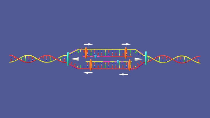 DNA Replication Model 3D Model