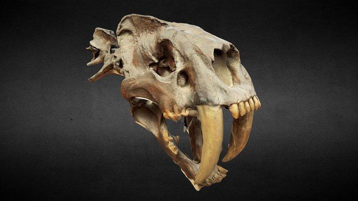 Smilodon Saber-toothed tiger 3D Model