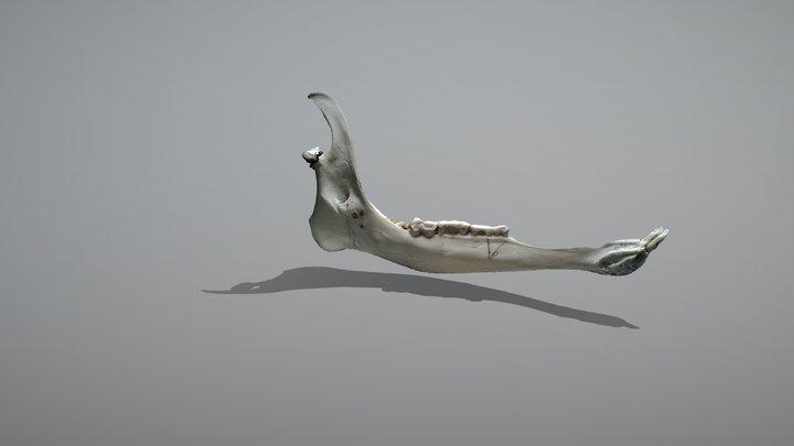 Mandíbula de venado 3D Model