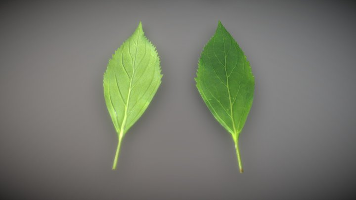 Forsythia Leaves - Forsythia x interm Low-Poly 3D Model