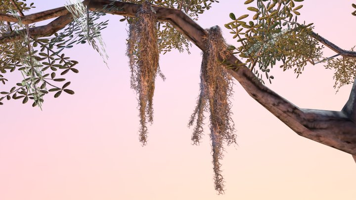 Spanish Moss (Tillandsia usneoides) 3D Model