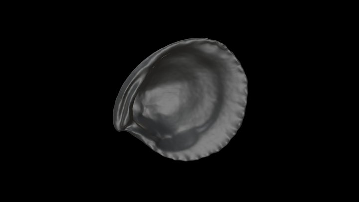 Cyclocardia granulata 3D Model