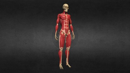 Ecorche - Skeleton and Muscles 3D Model