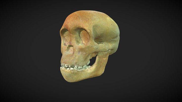 Australopithecus africanus - DECIMADO - Skull 3D Model