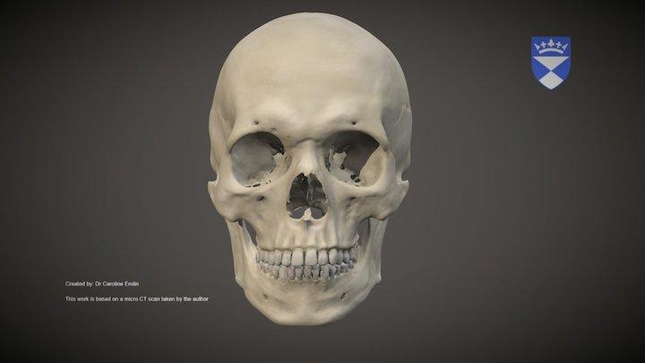 Adult male skull 3D Model