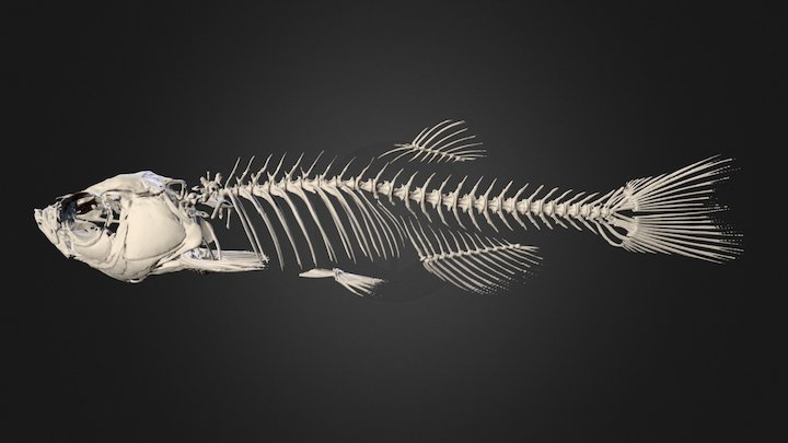Zebrafish_male_2_Bone 3D Model