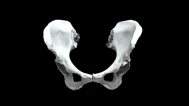 Left and Right Os Coxae: Visible Human Female 3D Model