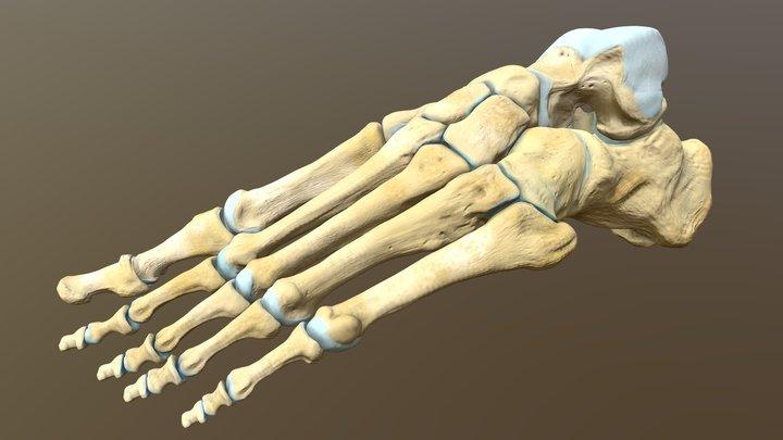 Left human foot bones 3D Model