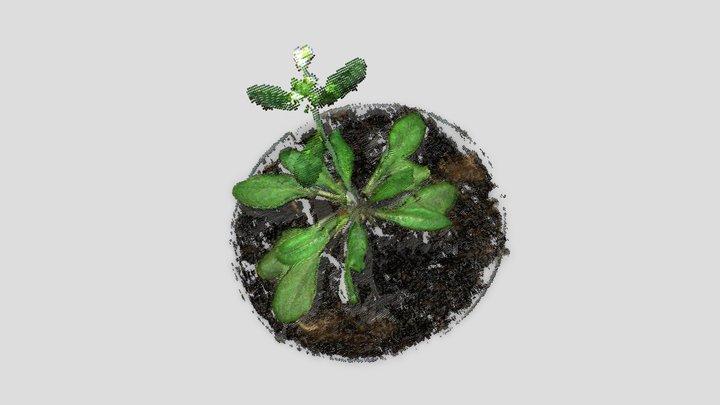 Arabidopsis 3D Model