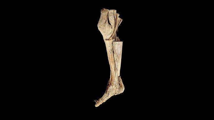 Lower Leg 3D Model