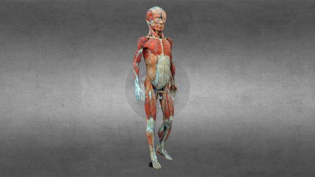 O home clástico do Dr. Auzoux en #galicia100 3D Model
