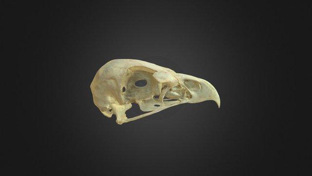 Aquila chrysaetos, skull 3D Model