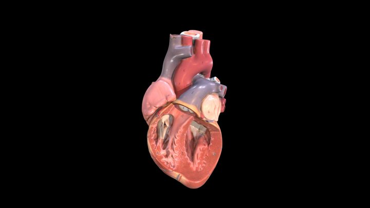 Heart (Plastic Model) - Left ventricle 3D Model