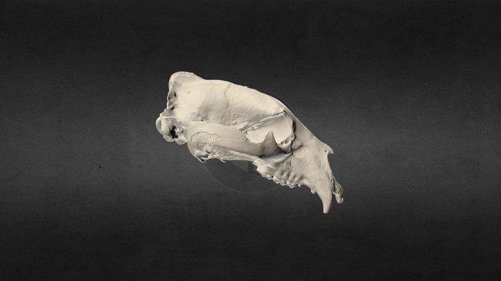 Ursus americanus (Black bear) Cranium 3D Model