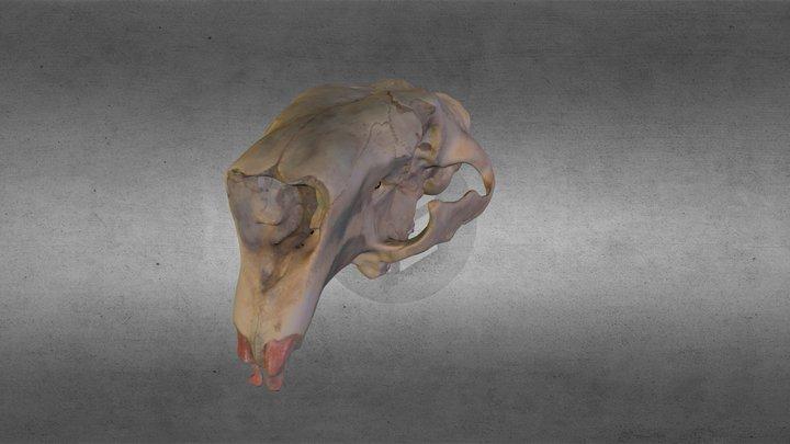 Beaver Skull 3D Model
