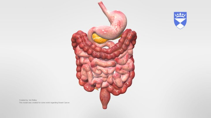 Bowel Anatomy 3D Model
