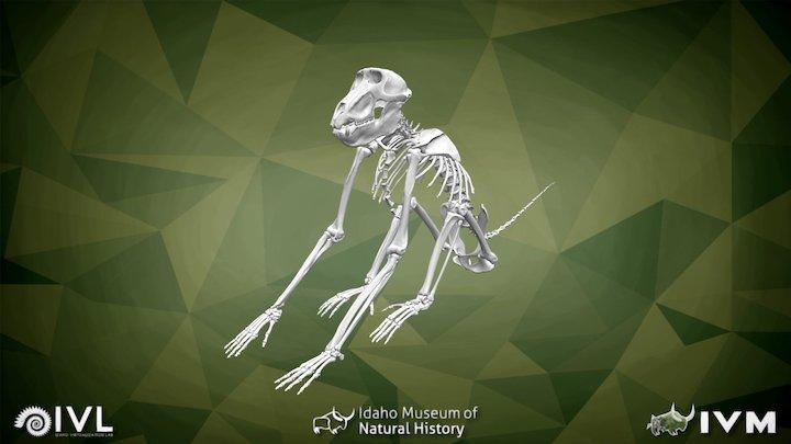 IMNH R-999 Baboon Skeleton 3D Model