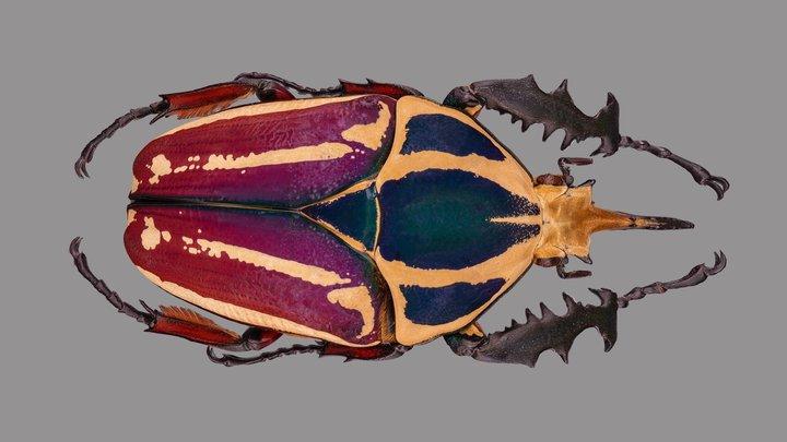 Mecynorrhina ugandensis 3D Model