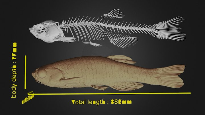 Zebrafish_male_3_Body Surface & Bone 3D Model