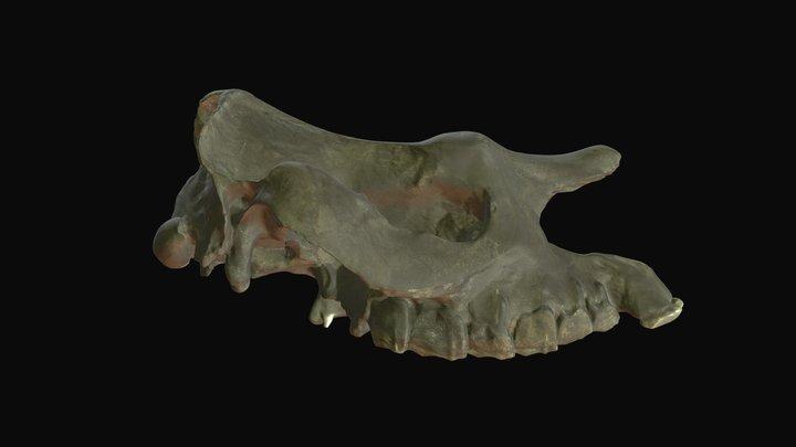 Teleoceras aepysoma (High-bodied rhino), cranium 3D Model