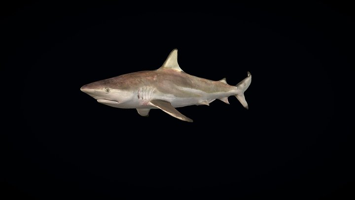 Model 9A - Blacktip Shark 3D Model