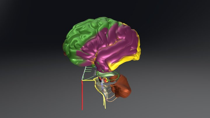 Vasculature of the Brain and Stroke Topography 3D Model