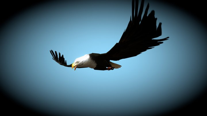 Nemoriko´s : Bald Eagle 3D Model