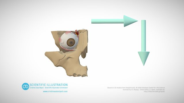 Adduction and Depression 3D Model