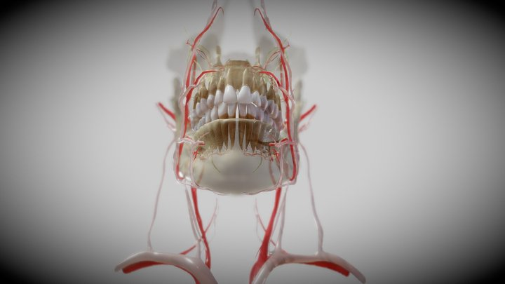 Orofacial anatomy with blood and nerve supply 3D Model