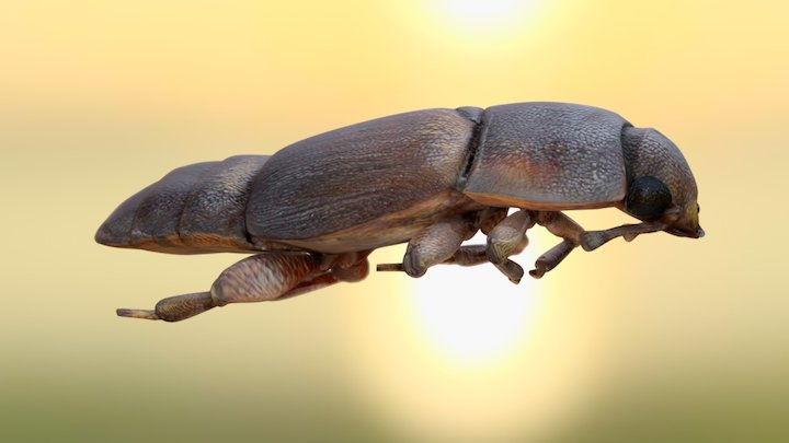 Sap Beetle 3D Model