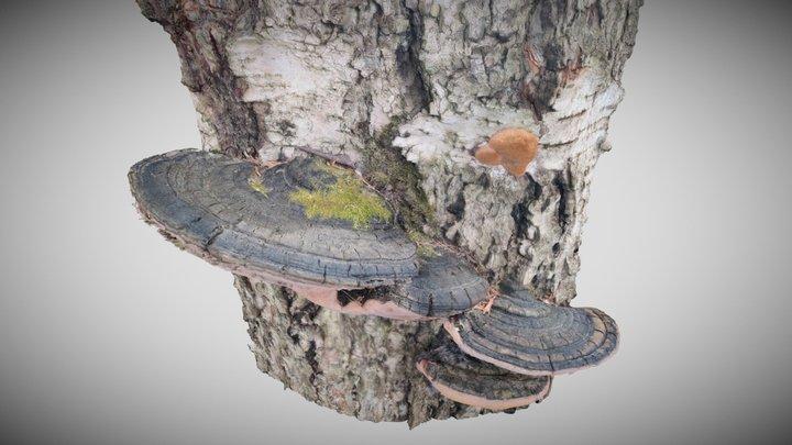 Sysikääpä (Phellinus nigricans) 3D Model