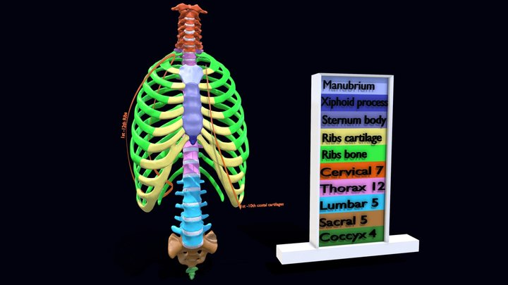 Ribs And Vertebrae color labelled code 3D Model