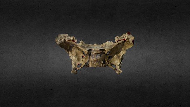Sphenoid Bone 3D Model