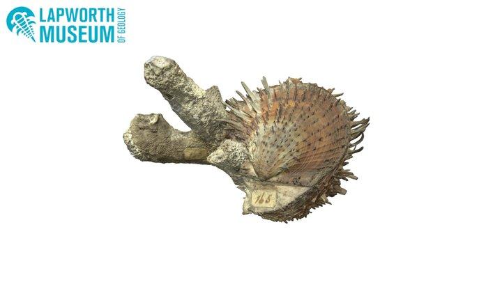 Spondylus versicolor BIRUG 19177 3D Model