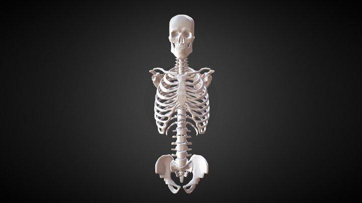 March17 Torso Study: Full Skeletal Torso 3D Model