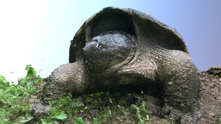 Snapping turtle laying eggs 3D Model