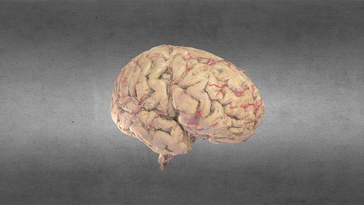 Cerebro/Brain 3D Model