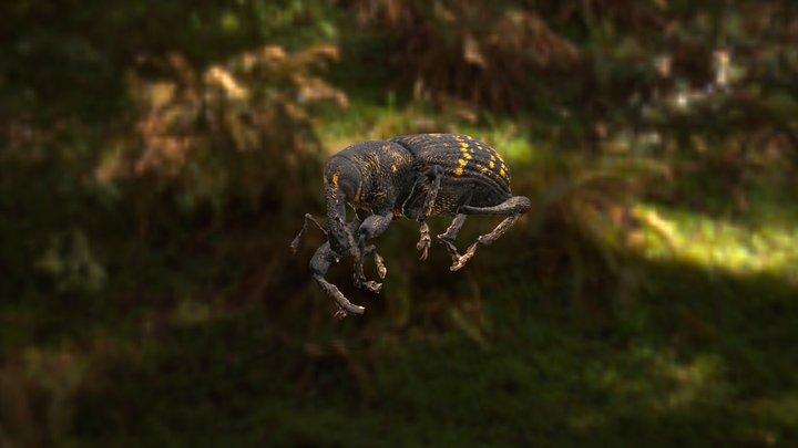 Hylobius abietis -  Large Pine Weevil Bug 3D Model