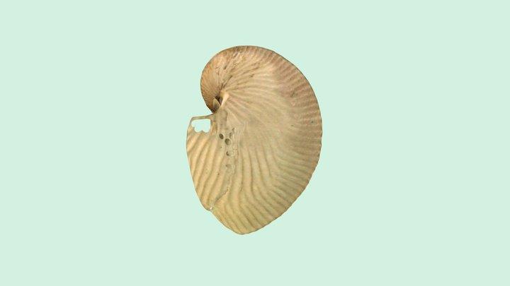 扁船蛸Argonauta argo 3D Model