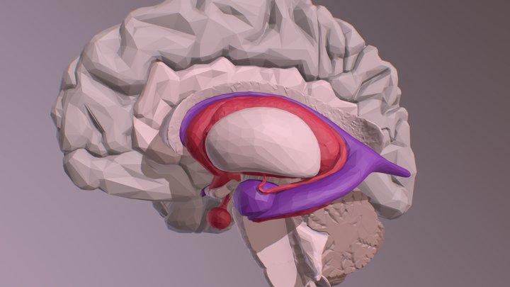 Internal Brain Structures 3D Model