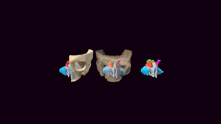 Head Sinuses 3D Model