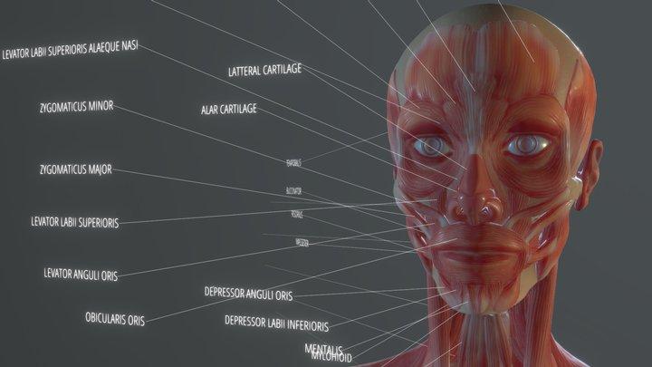 Anatomy Study: Thin Female 3D Model