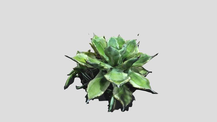 Agave potatorum cv. Kichijokan 1/24/2021 3D Model