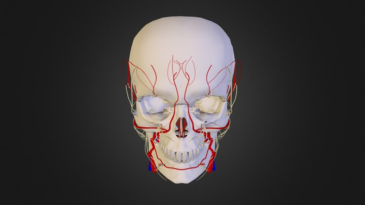 Craniofacial Anatomy Atlas 3D Model