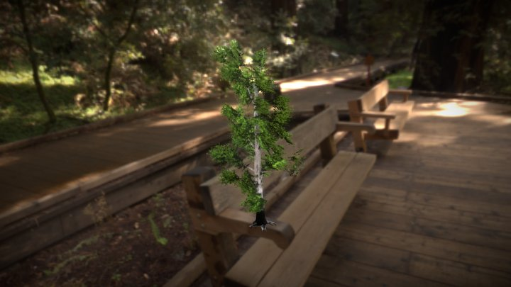 Birch 3D Model
