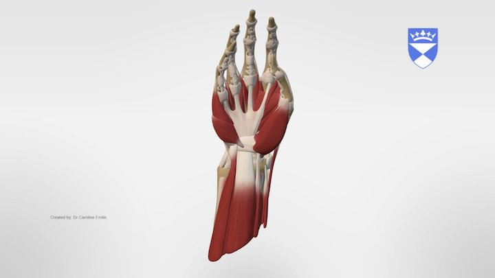 MUSCLES AND TENDONS OF THE HAND 3D Model