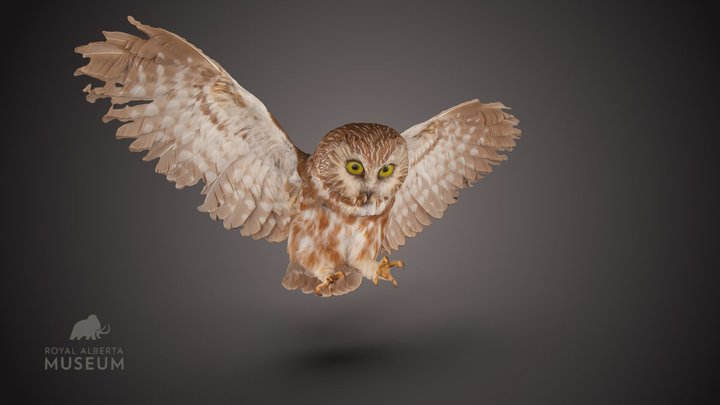 Northern Saw-whet Owl 3D Model
